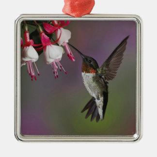Male Ruby throated Hummingbird, Archilochus Silver-Colored Square Decoration