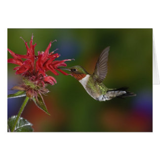 Male Ruby-throated Hummingbird feeding on Card