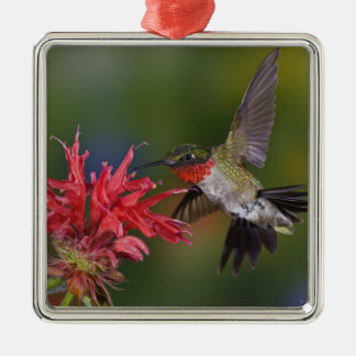 Male Ruby-throated Hummingbird feeding on Christmas Ornament