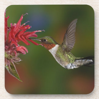Male Ruby-throated Hummingbird feeding on Drink Coasters