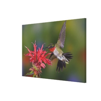 Male Ruby-throated Hummingbird feeding on Gallery Wrapped Canvas