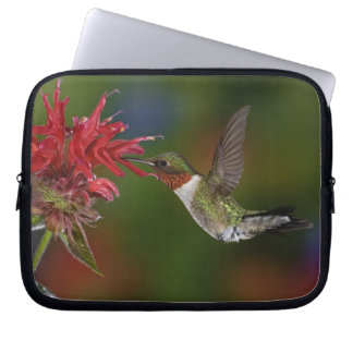 Male Ruby-throated Hummingbird feeding on Laptop Computer Sleeve