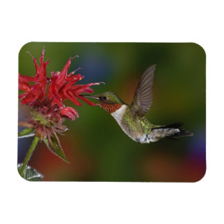 Male Ruby-throated Hummingbird feeding on Magnet