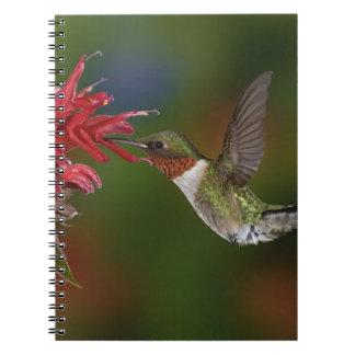 Male Ruby-throated Hummingbird feeding on Notebook