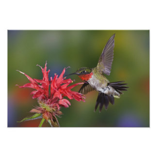 Male Ruby-throated Hummingbird feeding on Photographic Print