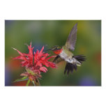 Male Ruby-throated Hummingbird feeding on Photograph