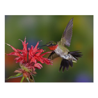 Male Ruby-throated Hummingbird feeding on Postcard