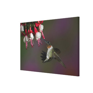 Male Ruby-throated Hummingbird in flight. Canvas Print