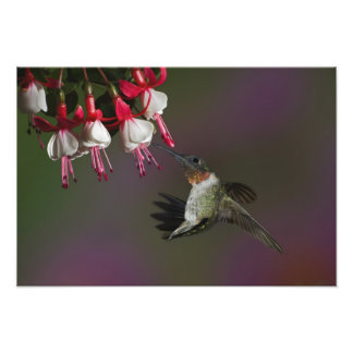 Male Ruby-throated Hummingbird in flight. Photographic Print