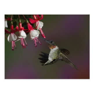 Male Ruby-throated Hummingbird in flight. Postcard