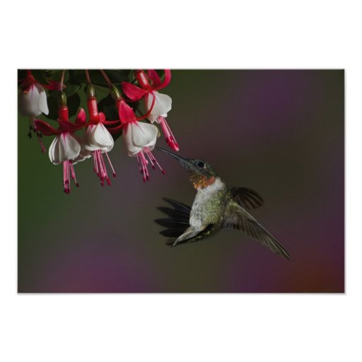 Male Ruby-throated Hummingbird in flight. Poster