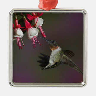 Male Ruby-throated Hummingbird in flight. Silver-Colored Square Decoration