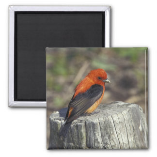 Male Scarlet Tanager in breeding plumage Refrigerator Magnet