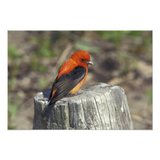 Male Scarlet Tanager in breeding plumage Photo