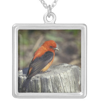 Male Scarlet Tanager in breeding plumage Silver Plated Necklace