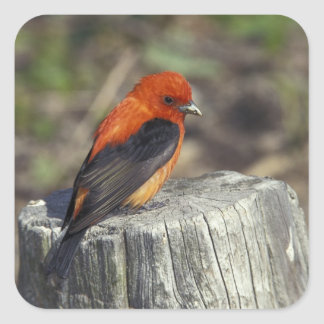 Male Scarlet Tanager in breeding plumage Square Sticker