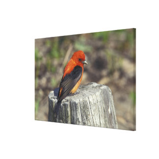 Male Scarlet Tanager in breeding plumage Stretched Canvas Prints