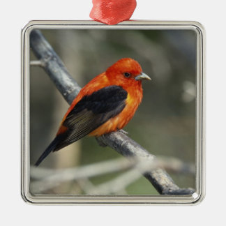 Male Scarlet Tanager, Piranga olivacea Christmas Ornament