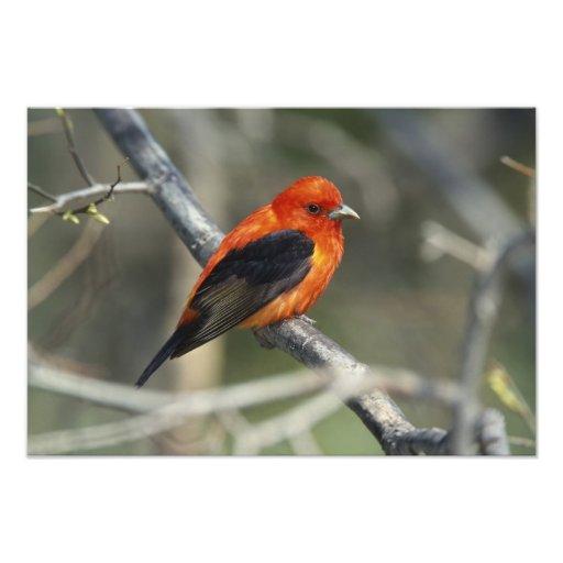 Male Scarlet Tanager, Piranga olivacea Photo Art