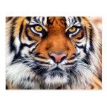 Male Siberian Tiger Paint Photograph Postcard