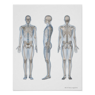 Male Skeleton 2 Poster