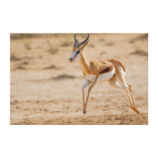 Male Springbok (Antidorcas Marsupialis) Jumping Canvas Print