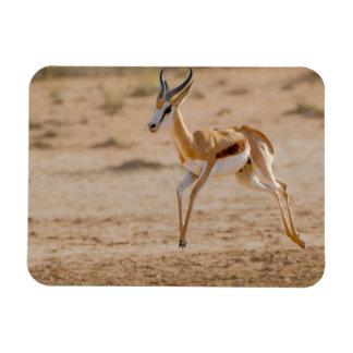 Male Springbok (Antidorcas Marsupialis) Jumping Magnet
