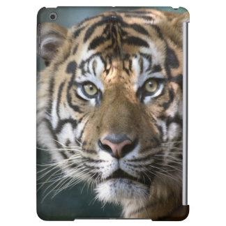 Male Sumatran Tiger (Panthera tigris sumatrae)