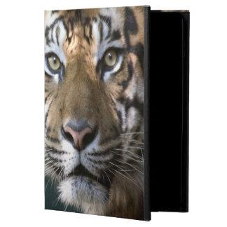 Male Sumatran Tiger (Panthera tigris sumatrae) Case For iPad Air