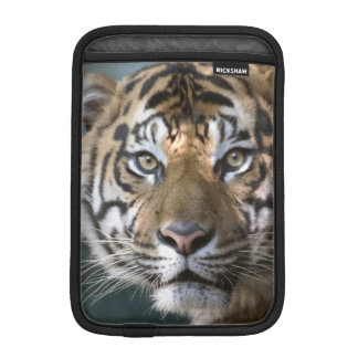 Male Sumatran Tiger (Panthera tigris sumatrae) iPad Mini Sleeve
