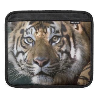 Male Sumatran Tiger (Panthera tigris sumatrae) iPad Sleeves