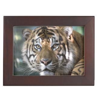 Male Sumatran Tiger (Panthera tigris sumatrae) Keepsake Box