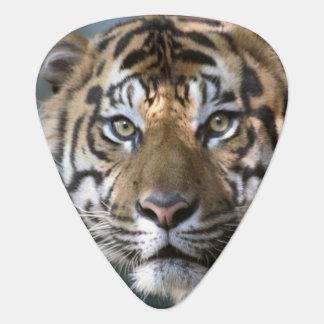 Male Sumatran Tiger (Panthera tigris sumatrae) Plectrum