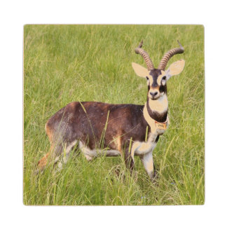 Male White-Eared Kob (Kobus Kob Leucotis), Boma Wood Coaster
