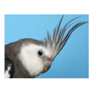 Male Whiteface Cockatiel Postcard