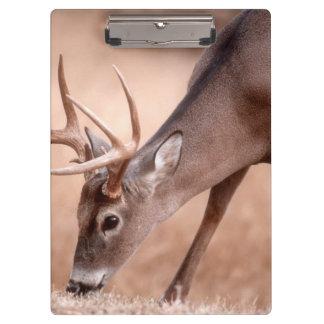 Male whitetail deer grazing clipboard