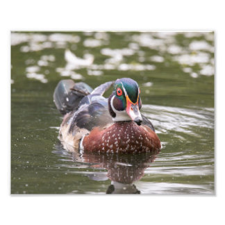 Male Wood Duck Just Floating Along Print