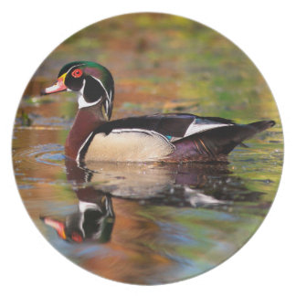Male wood duck swims, California Plate