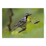 Male Yellow-throated Warbler, Dendroica Greeting Card