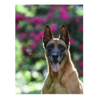 Malinois in the back light postcard