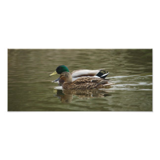 Mallard Couple Photo Print