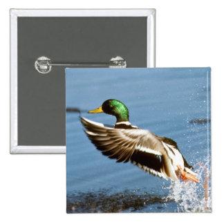 Mallard Drake Duck 15 Cm Square Badge