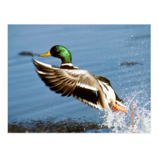 Mallard Drake Duck Postcard