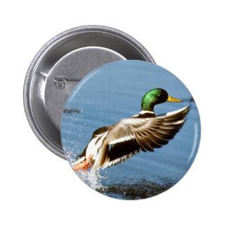 Mallard Drake Takes Flight 6 Cm Round Badge