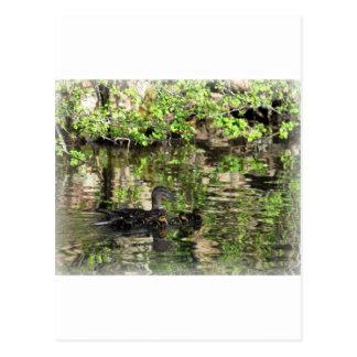 Mallard duck and ducklings postcard