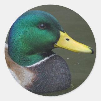 Mallard Duck Classic Round Sticker