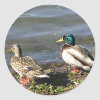 Mallard duck couple stickers