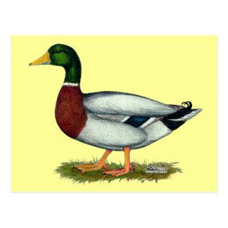 Mallard Duck Drake Postcard