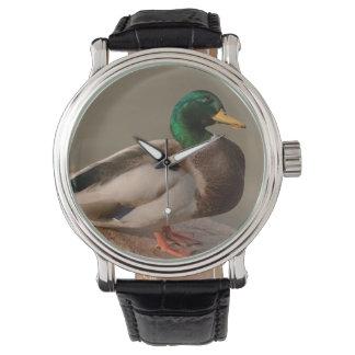 Mallard Duck Drake Watch