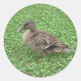 Mallard Duck Female Photo Classic Round Sticker